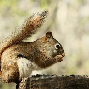 Red Squirrel Eating Sunflower Seeds by Robert Hamm - Animals Other Mammals ( wild animal, canada, nature, winnipeg, red squirrel, outdoor, rodent, spring, squirrel, mammal, animal, manitoba,  )