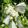 Lots of Black-veined White butterflies / Puno glogovih bijelaca