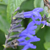 Giant Blue Black Salvia