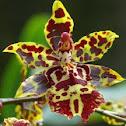 Odontocidium tiger orchid