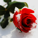 Frozen Rose logo