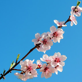 diagonal floral by Doru Sava - Flowers Tree Blossoms