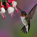 Colibri Live Wallpapers icon
