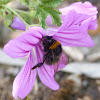 Early-nesting bumblebee