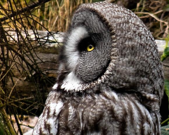 Great Gray Owl | Project Noah