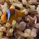 Red Sea or two-banded clownfish, Amphiprion bicinctus