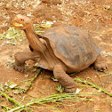 Galapagos giant tortoise (Isla Espanola)