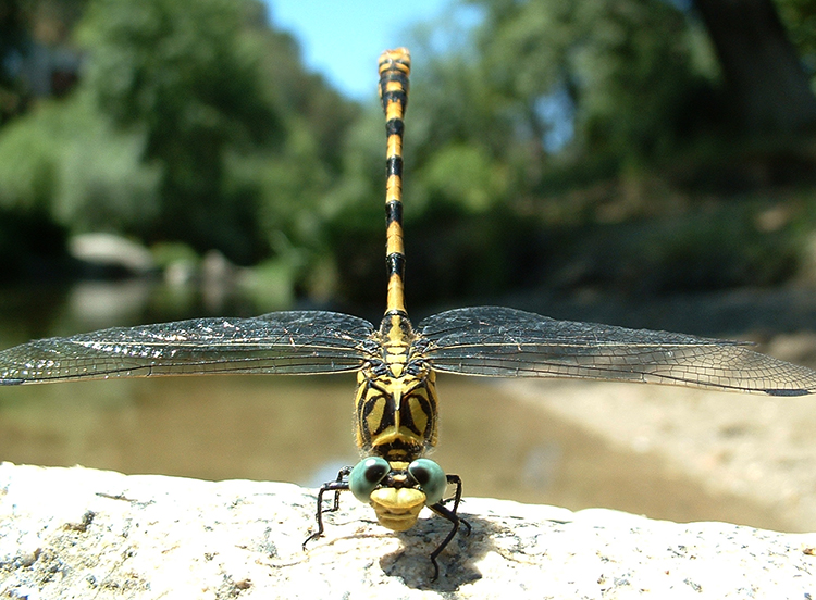 Pincertail