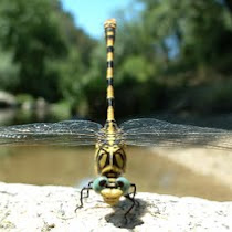 Global Dragonflies & Damselflies