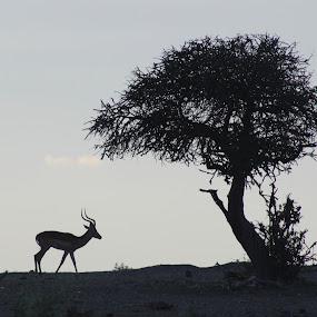 Impala (Antelope) Silhouette by Arun Prasanna - Animals Other Mammals ( #antelope #silhouette #impala #africa )