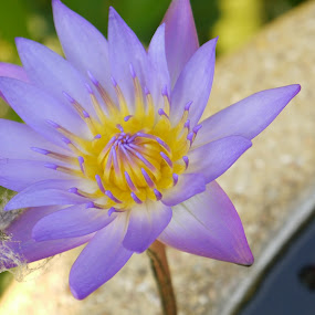 Lotus Flower by Andrew Benn - Flowers Single Flower (  )