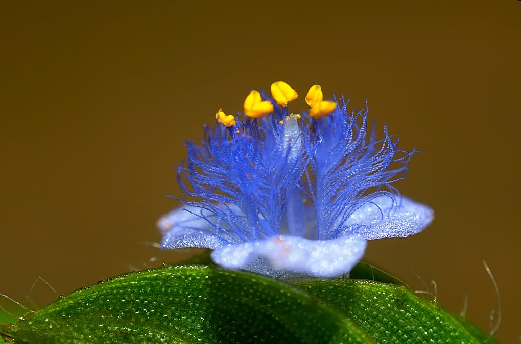 Cyanotis cristata