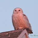 Snowy Owl (at sunset)