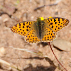 Queen of Spain Fritillary, Sofía