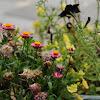 Straw Flower & seeds