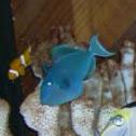 Niger or Black Triggerfish