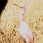 Cattle Egret (anomolous colour)