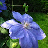 Ice Blue Clematis