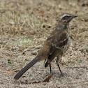Tenca / Chilean Mockingbird
