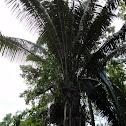 Cahoon Tree