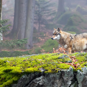 European wolf by Andrej Topolovec - Animals Other Mammals ( wolf, animal )