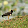 The Red wattled Lapwing