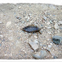 Giant Water Bug (Toe Biter)