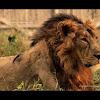 Adult male Asiatic lion