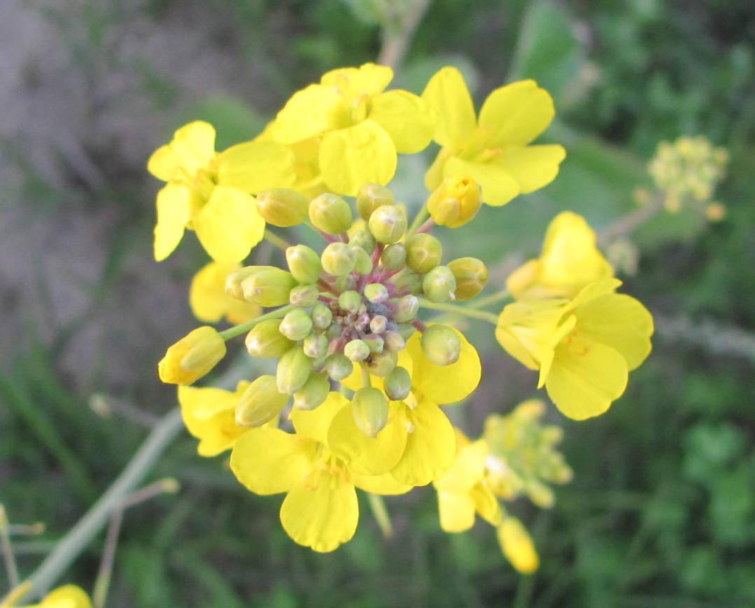 Mustard plant | Project Noah