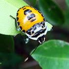 Citrus Stink Bug (nymph)