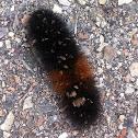 Banded woolly bear (Isabella tiger moth larva)