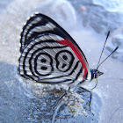 Mariposa 88 Butterfly. Cramer's Eighty-eight
