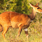 Bushbuck, female