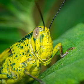 Grasshopper by Joydeep Sen Chaudhuri - Animals Insects & Spiders ( green, insect, singapore, grasshopper, animal )