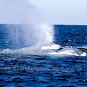 Blue Whale Mother & Calf