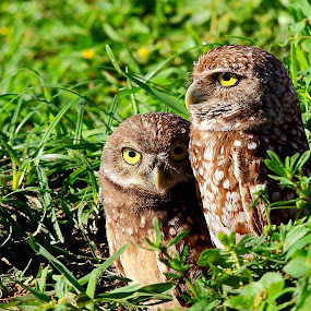 I watch your back owl brother by Pablo Barilari - Animals Birds ( bird, owl, two owls, birds )