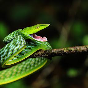 Green Jewel of Forest by Guru Prasad - Animals Reptiles ( snake, jewel, macro photography, green, green vine,  )