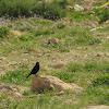 Tristram desert starling