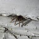 sheet weaver spider