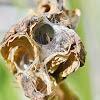 Crab Spider in nest