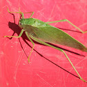 Katydid/Bush-cricket