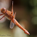 Neon Skimmer (Female)