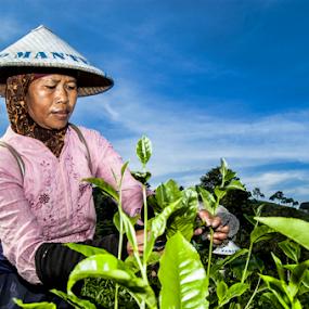 Pemetik Daun Teh by Nugroho Kristanto - People Portraits of Women ( kemuning, daun, kartini, pemetik, teh, karanganyar, tea, plantation, women )