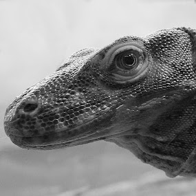 Monster  by Christa Ehrstein - Animals Reptiles ( scales, black and white, reptile,  )