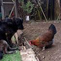 Styrian chickens