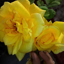 Texas Yellow Rose