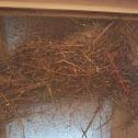 Eurasian tree sparrow's nest