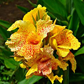 yellow eksotis by Arifandi Krembong - Flowers Flower Gardens ( love, putranti, yeloow, selecta, flower )