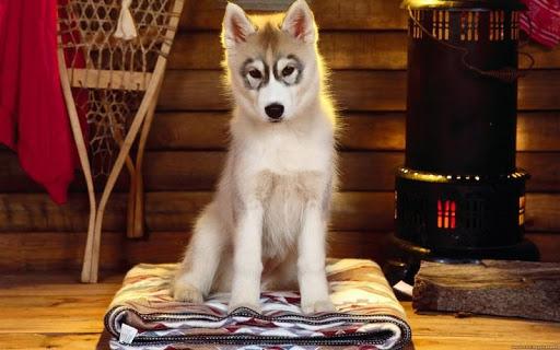 【免費個人化App】Siberian Dog HD Wallpaper-APP點子