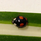 Harlequin Lady Beetle